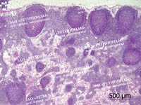 Лимфатический узел собаки