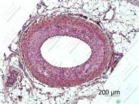 Артерия мышечного типа. Кошка