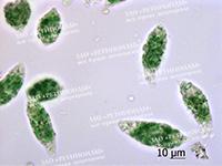 Euglena green