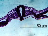 Зародыш курицы. Зачатки осевых органов