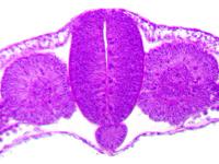 Зародыш курицы. Зачатки осевых органов.